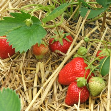 strawberries cu on straw